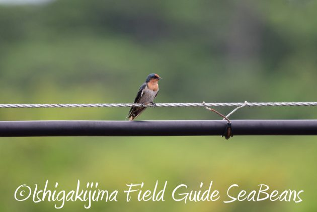 8月13日石垣島バードウオッチング&野鳥撮影6