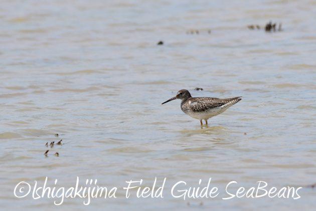 8月1日 石垣島 バードウオッチング 野鳥撮影2