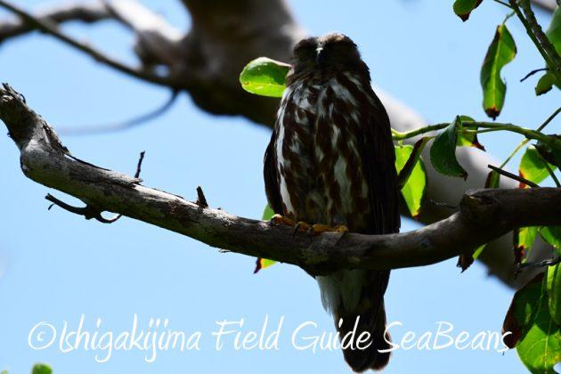8月1日 石垣島 バードウオッチング 野鳥撮影15