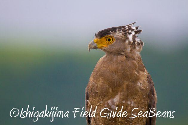 8月31日石垣島バードウオッチング&野鳥撮影11