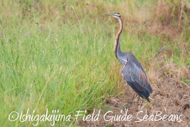 8月10日石垣島 バードウオッチング&野鳥撮影4