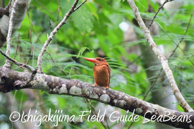 8月17日石垣島バードウオッチング&野鳥撮影24