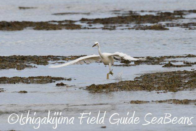 8月26日石垣島バードウオッチング&野鳥撮影ガイド12
