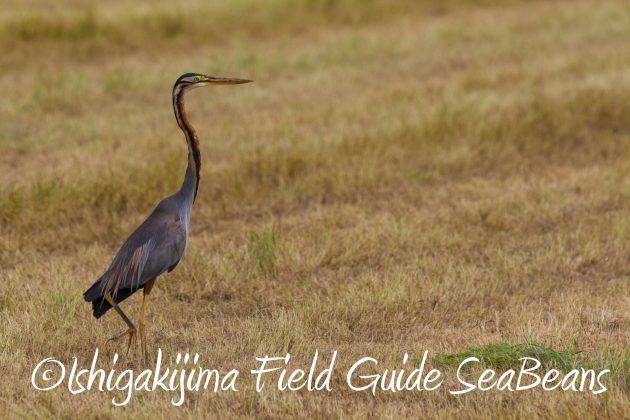 8月31日石垣島バードウオッチング&野鳥撮影9