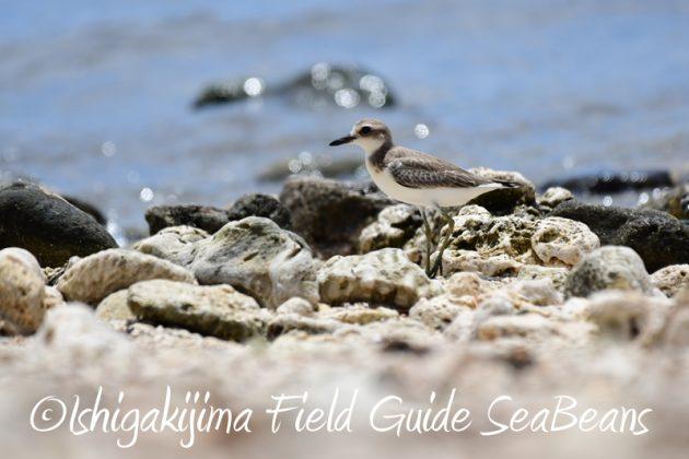 8月9日石垣島の野鳥 バードウオッチング4