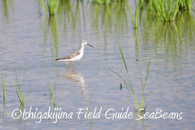 8月8日石垣島 バードウオッチング&野鳥撮影3