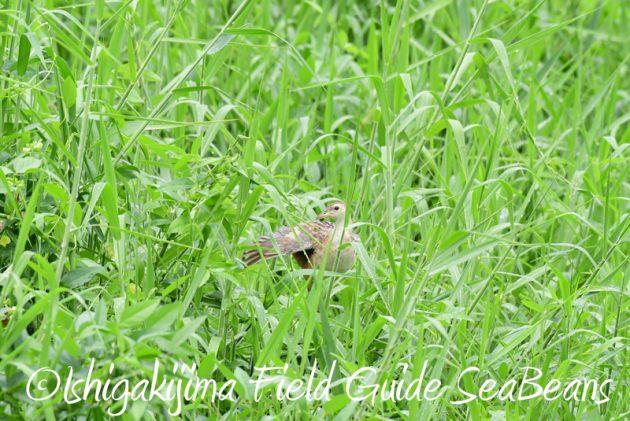 8月10日石垣島 バードウオッチング&野鳥撮影11
