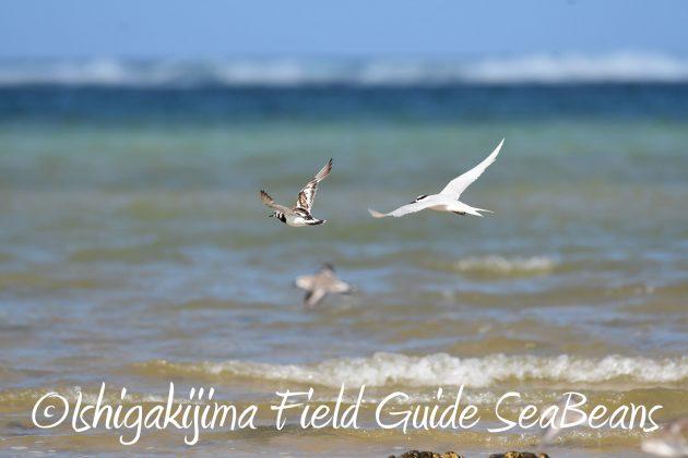 8月26日石垣島バードウオッチング&野鳥撮影ガイド16