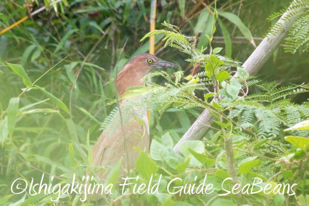 8月10日石垣島 バードウオッチング&野鳥撮影13