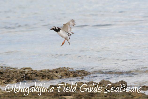 8月26日石垣島バードウオッチング&野鳥撮影ガイド15