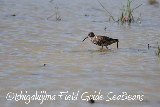 8月2日石垣島 バードウオッチング 野鳥撮影4