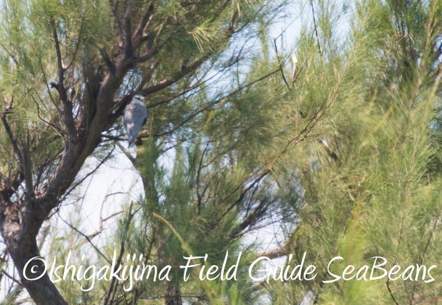 8.15石垣島バードウオッチング&野鳥撮影18