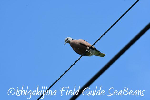 8月25日石垣島バードウオッチング&野鳥撮影ガイド17