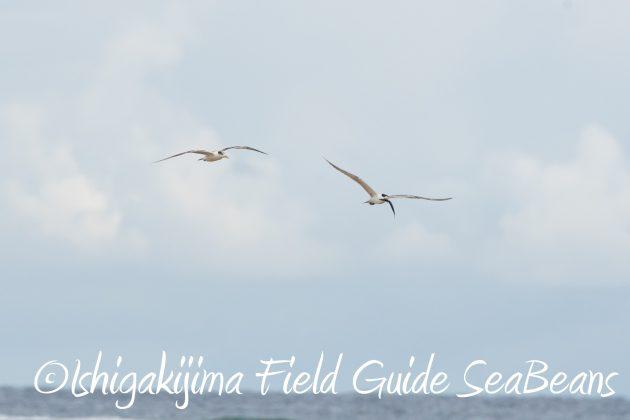 8月17日石垣島バードウオッチング&野鳥撮影16