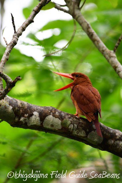 8月12日石垣島バードウオッチング&野鳥撮影3