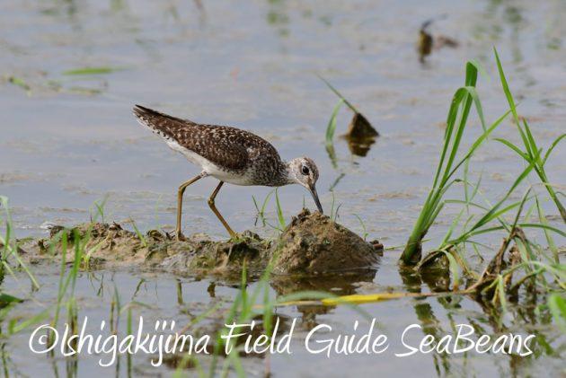 8月1日 石垣島 バードウオッチング 野鳥撮影6