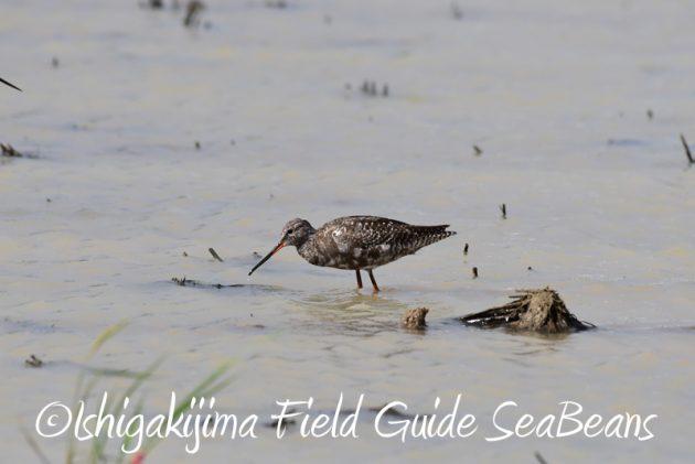 8月1日 石垣島 バードウオッチング 野鳥撮影1