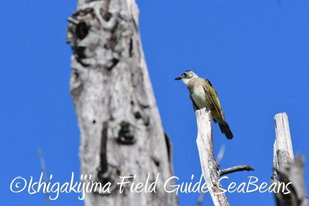 8月16日石垣島 バードウオッチング&野鳥撮影ガイド2