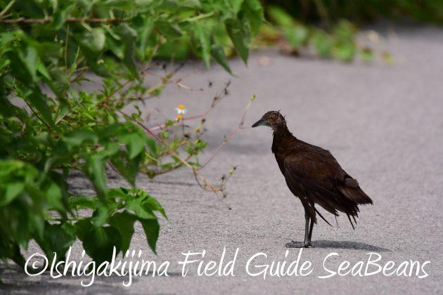 8月12日石垣島バードウオッチング&野鳥撮影19