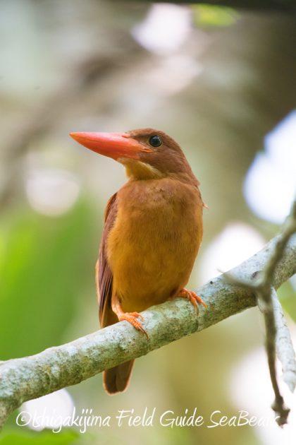 8月8日石垣島 バードウオッチング&野鳥撮影10