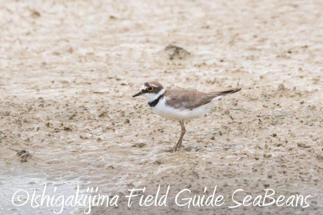 8月16日石垣島 バードウオッチング&野鳥撮影ガイド14