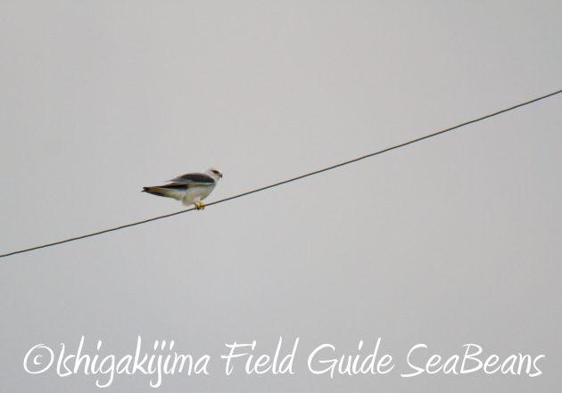 9月3日石垣島バードウオッチング&野鳥撮影ガイド13