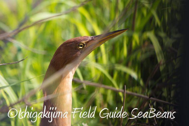 C-_Users_SeaBeans_Desktop_9月5日石垣島バードウオッチング&野鳥撮影ガイド9
