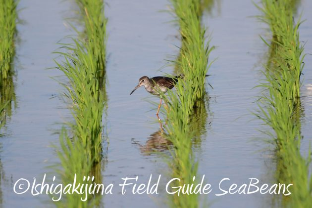 C-_Users_SeaBeans_Desktop_9月5日石垣島バードウオッチング&野鳥撮影ガイド3