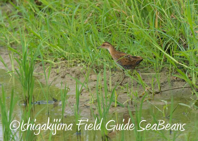 9月1日石垣島バードウオッチング&野鳥撮影ガイド3