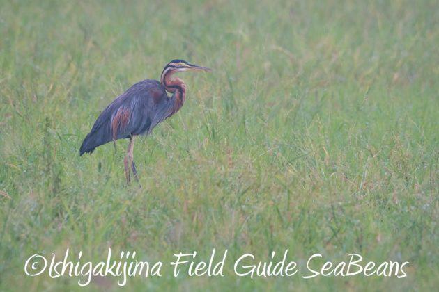 9月6日石垣島バードウオッチング&野鳥撮影ガイド12
