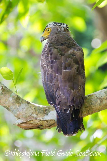 9月3日石垣島バードウオッチング&野鳥撮影ガイド15