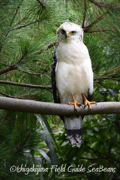 9月7日石垣島バードウオッチング&野鳥撮影ガイド18