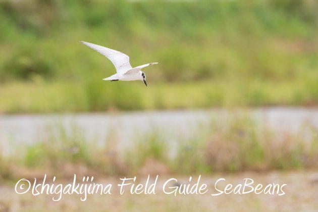9月7日石垣島バードウオッチング&野鳥撮影ガイド9