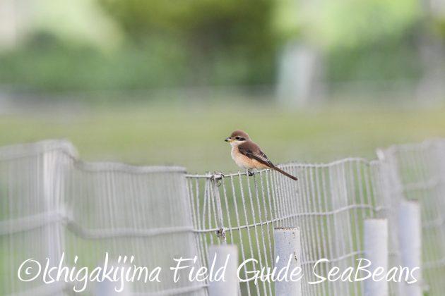 9月7日石垣島バードウオッチング&野鳥撮影ガイド2