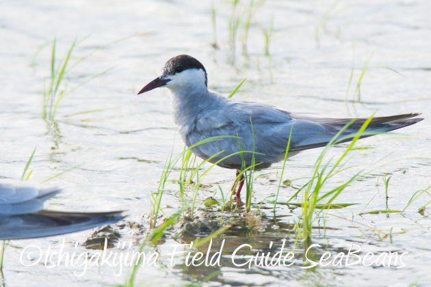 9月4日石垣島バードウオッチング&野鳥撮影ガイド8