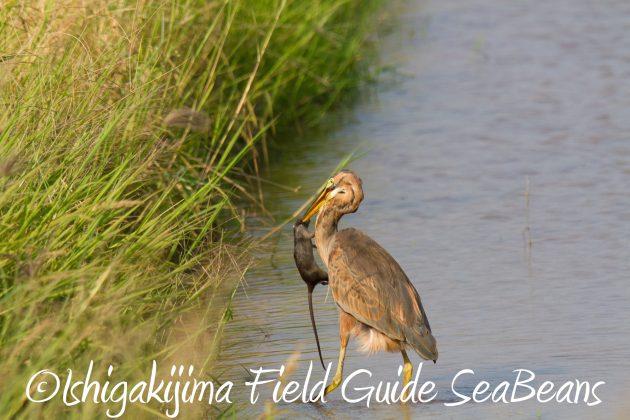 9月3日石垣島バードウオッチング&野鳥撮影ガイド2