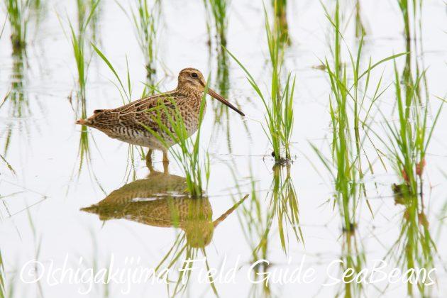 9月1日石垣島バードウオッチング&野鳥撮影ガイド6