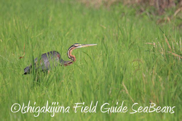 9月1日石垣島バードウオッチング&野鳥撮影ガイド1