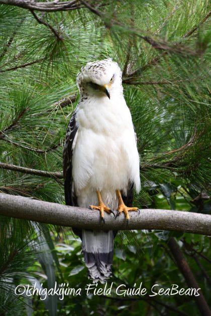 9月7日石垣島バードウオッチング&野鳥撮影ガイド14