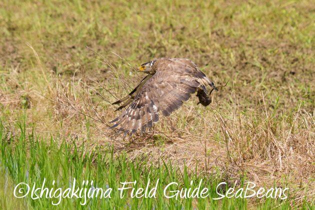 9月1日石垣島バードウオッチング&野鳥撮影ガイド14