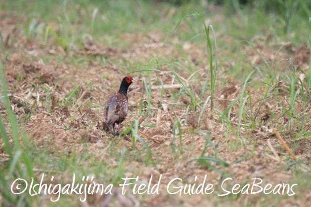 9月3日石垣島バードウオッチング&野鳥撮影ガイド20