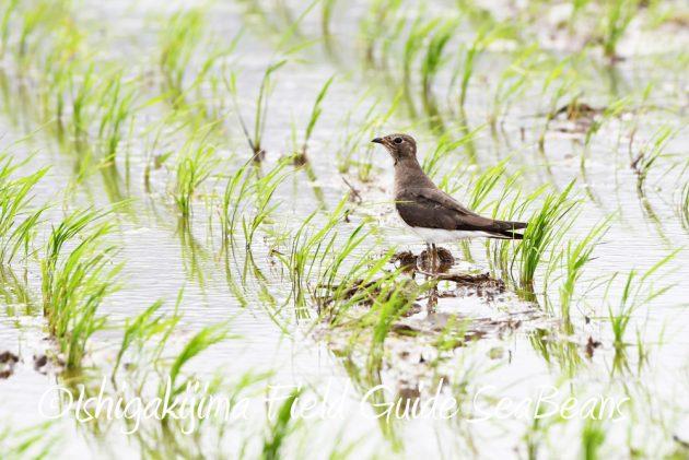 9月7日石垣島バードウオッチング&野鳥撮影ガイド6