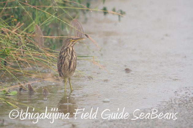 9月6日石垣島バードウオッチング&野鳥撮影ガイド11