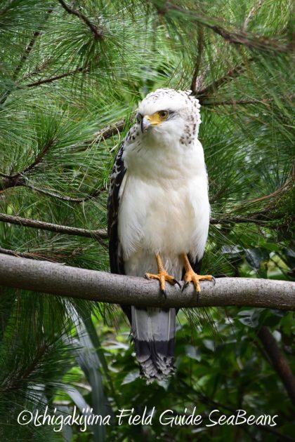 9月7日石垣島バードウオッチング&野鳥撮影ガイド17