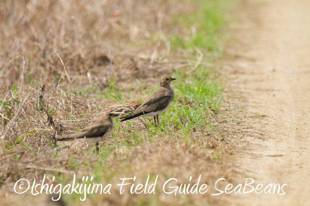 9月3日石垣島バードウオッチング&野鳥撮影ガイド11