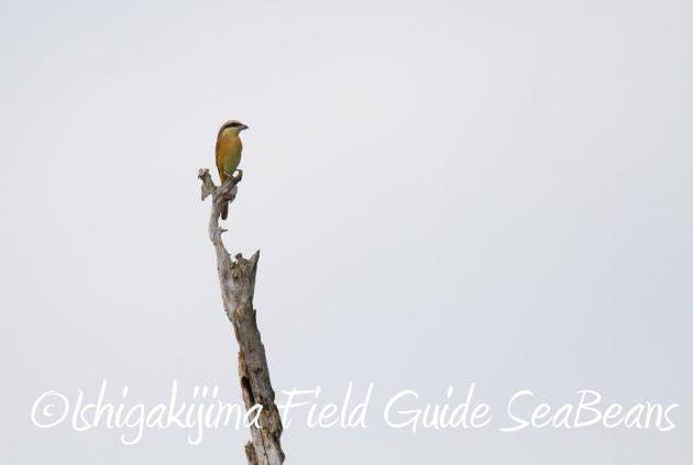9月1日石垣島バードウオッチング&野鳥撮影ガイド18