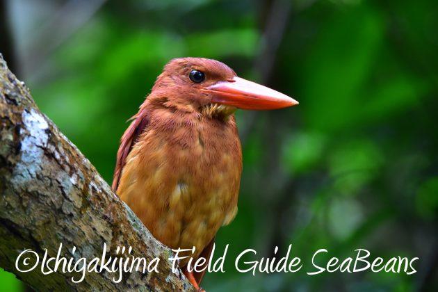 9月1日石垣島バードウオッチング&野鳥撮影ガイド19