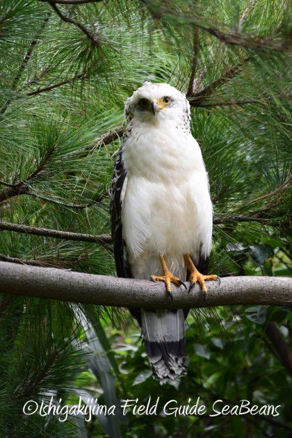 9月7日石垣島バードウオッチング&野鳥撮影ガイド19