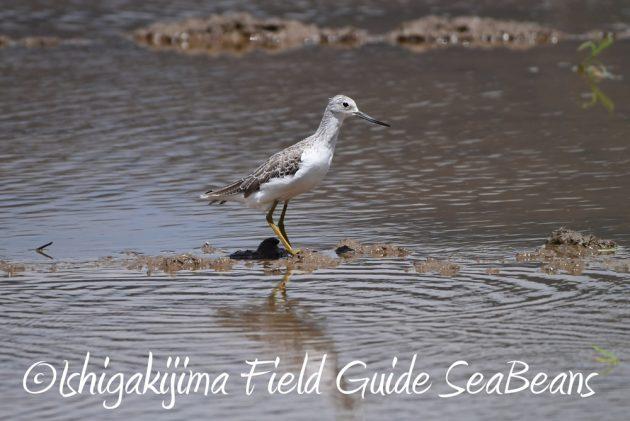 C-_Users_SeaBeans_Desktop_9月5日石垣島バードウオッチング&野鳥撮影ガイド8