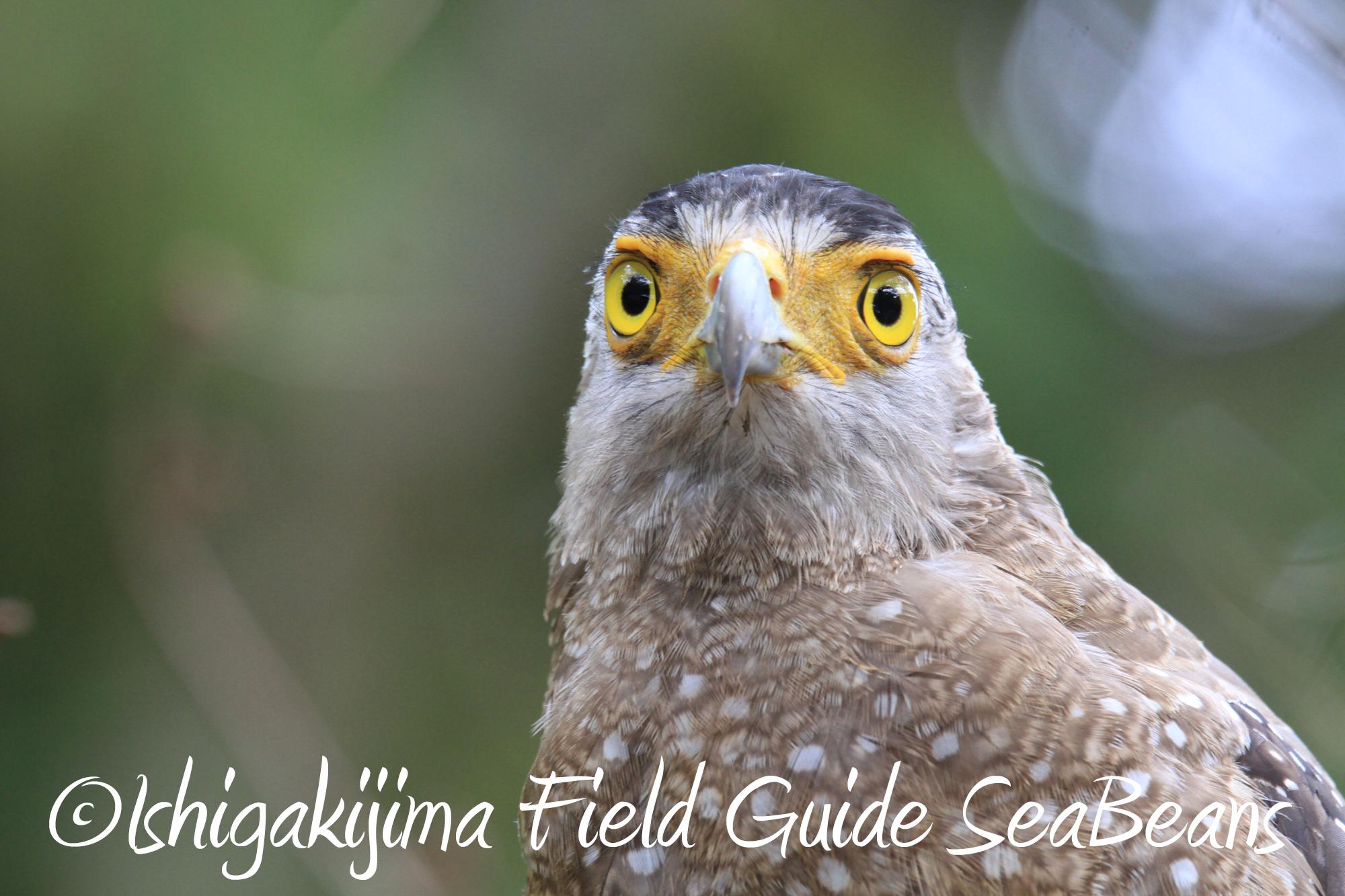 カンムリワシ&カタグロトビなど秋の石垣島は更に出会い沢山!!バードウオッチング&野鳥撮影。
